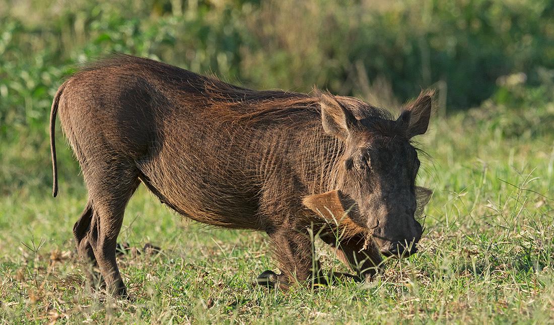 Kenya Mammals List