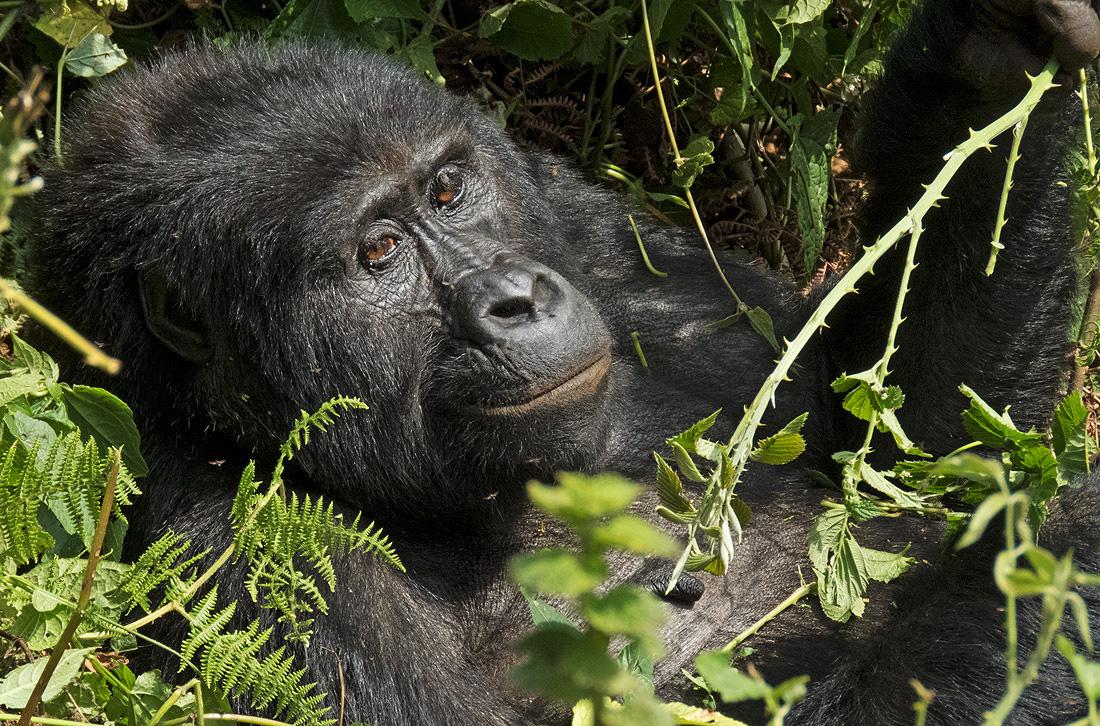 Uganda Rwanda Mountain Gorilla Tour Adventure