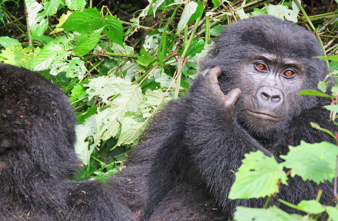 Mountain-Gorilla-Tour