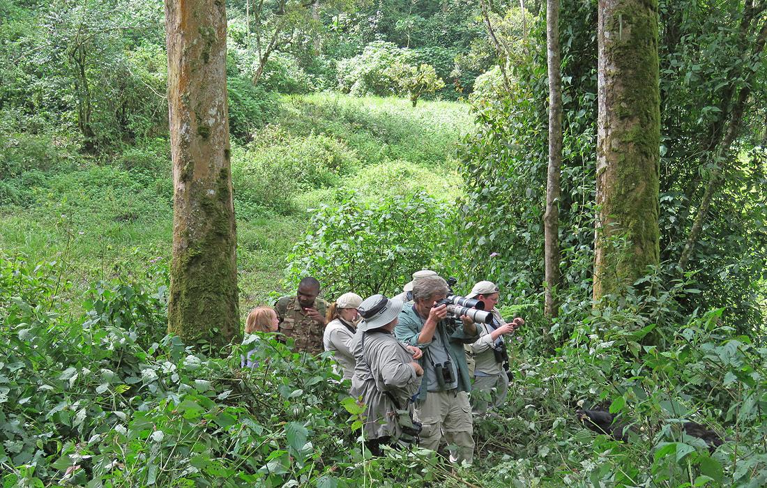 Tourists Tracking Eastern Mountain Gorillas