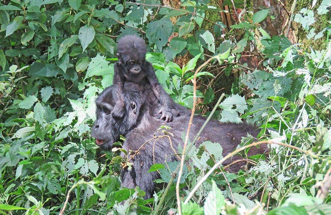 Gorilla Tour Company Uganda Rwanda
