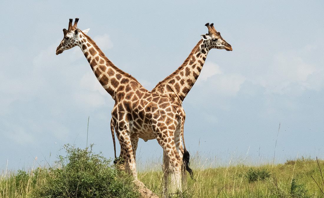 Animals Akagera National Park Rwanda