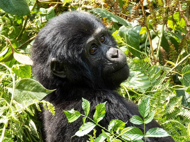 Gorilla_Tours_Uganda