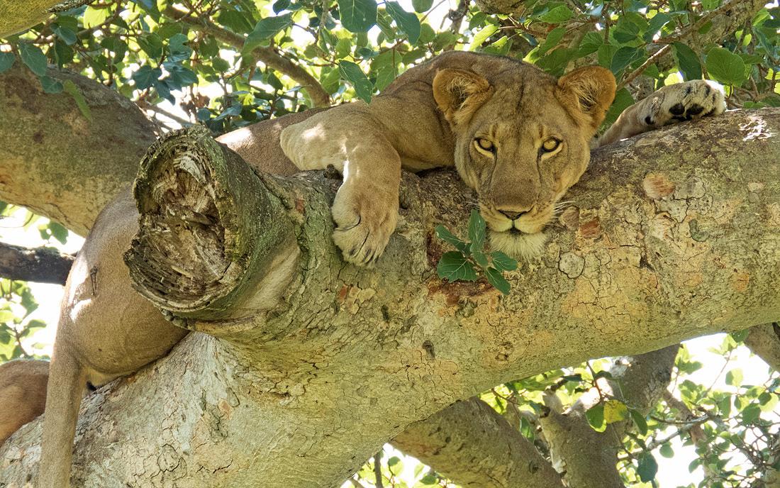 Uganda Tree Climbing Lions Safari