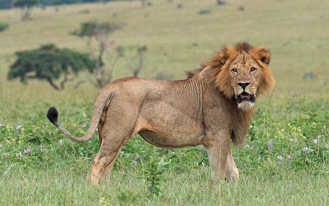 Uganda African Big Five Game Safari