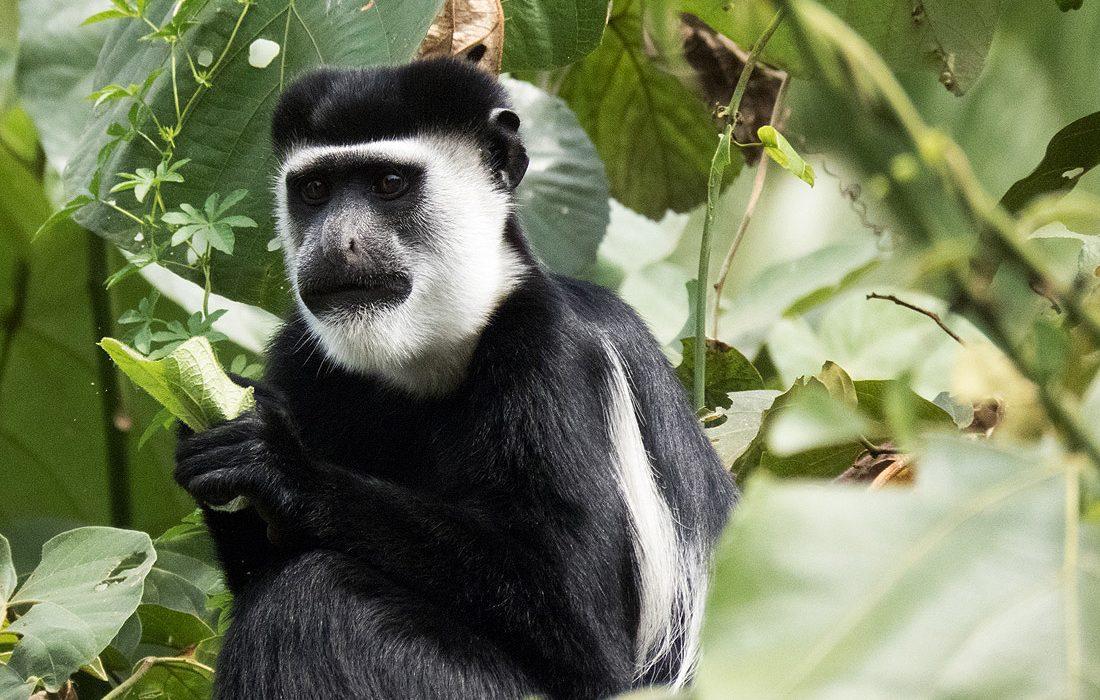 Rwanda Primate Tour Safaris