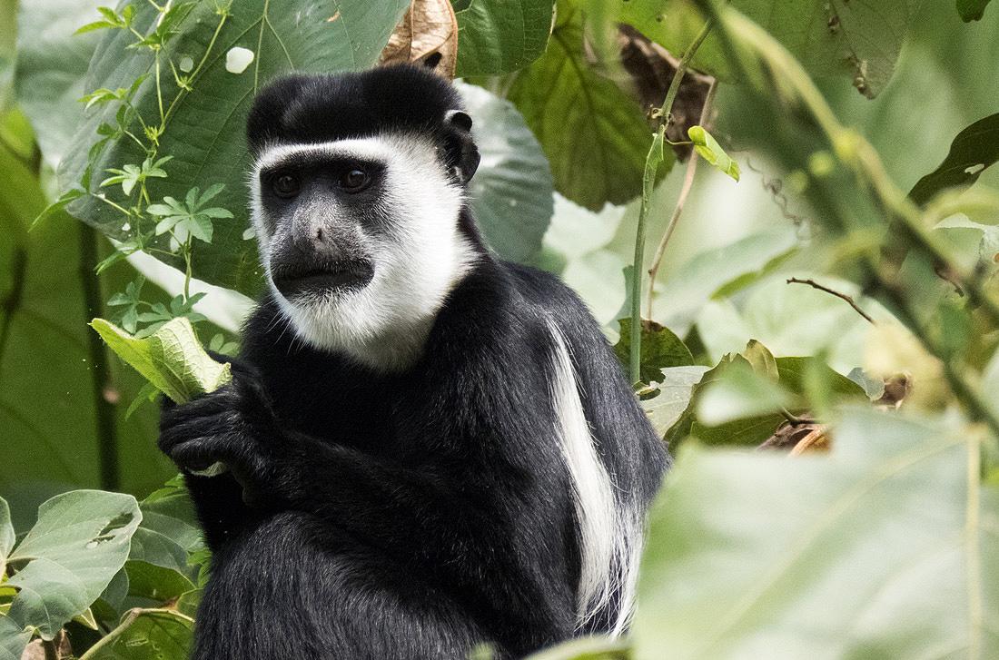 Rwanda Primate Tour