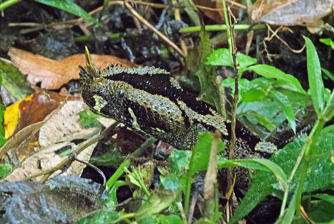 Rhinoceros-Viper-Uganda-Snakes-Herpetology-Tour