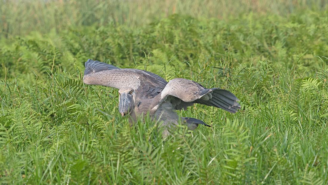 Uganda Birding Tour Holiday Safari