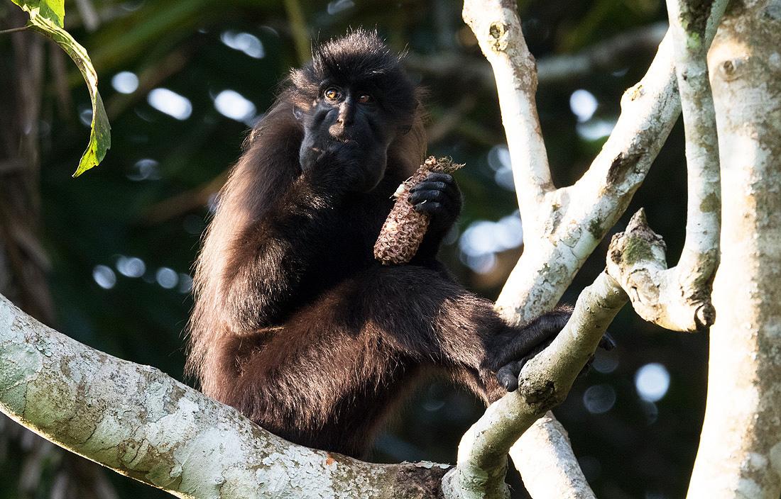 Mabira Forest Monkeys