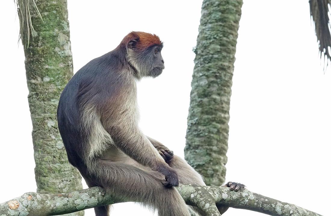 Africa Primate Safaris