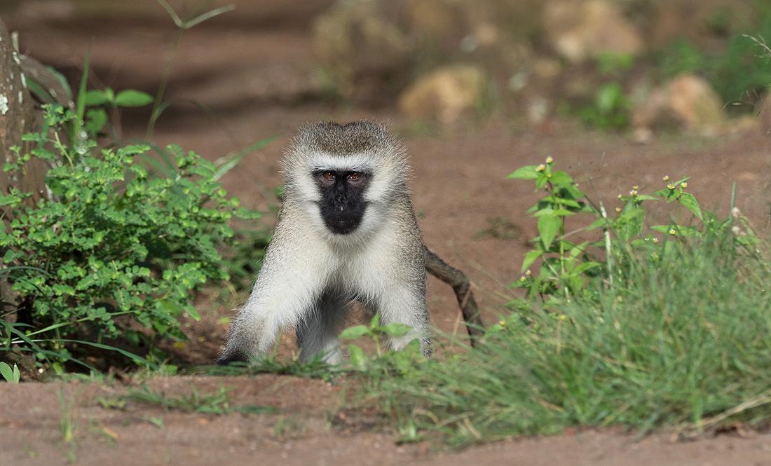 primate-tour-uganda