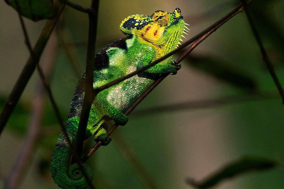 Herpetology Reptile Tour Kenya Uganda