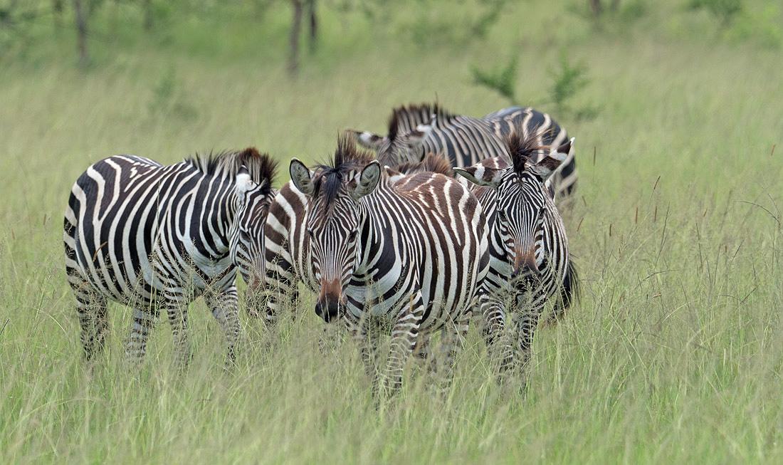 Safari To Kenya Great Migration