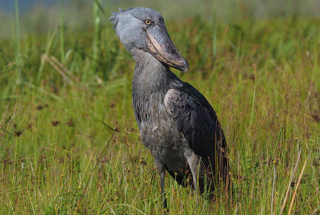 birding-safaris-uganda