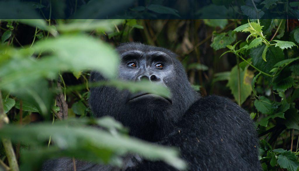 Eastern Gorilla Biography
